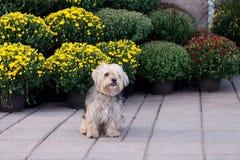 Gullig hårig windblown terrierblandninghund som sitter på trottoaren royaltyfri fotografi