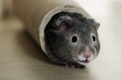 Gullig hamster Arkivfoto