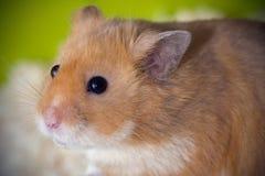 Gullig hamster i hans bur Fotografering för Bildbyråer