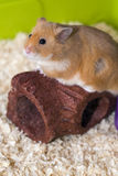 Gullig hamster i hans bur Arkivfoton