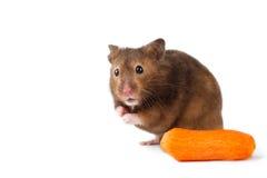 Gullig hamster med morot isolerad vit Arkivfoton
