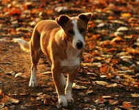 Gullig hemlös hund Arkivbild