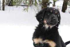 Gullig hovawartvalp som spelar i snö Royaltyfri Bild