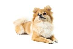 gullig hund över pomeranian white Fotografering för Bildbyråer