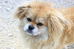 Gullig hund av den höga platån för yungui Royaltyfria Bilder