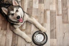 Gullig hund för alaskabo Malamute med att ligga för bunke arkivfoton