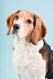 gullig hund för beagle Fotografering för Bildbyråer