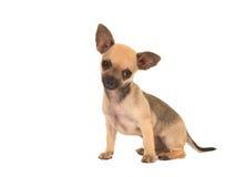Gullig hund för sammanträdechihuahuavalp Royaltyfri Fotografi