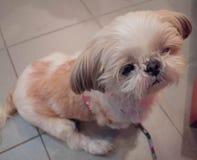 Gullig hund för Shih tzu Arkivfoton