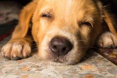 Gullig hund för valpståendenärbild som dåsar på golv Royaltyfria Bilder