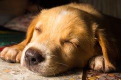 Gullig hund för valpståendenärbild som dåsar på golv Arkivfoton