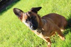 Gullig hund från Europa royaltyfria bilder