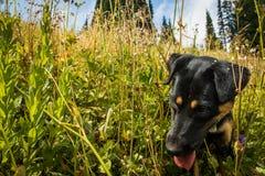 Gullig hund i gräset av washington Arkivbild