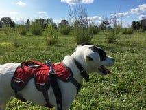 Gullig hund i lavendelfält royaltyfri fotografi