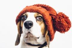 Gullig hund i varm orange hatt Royaltyfri Fotografi