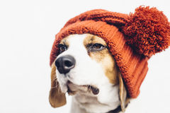 Gullig hund i varm orange hatt Arkivfoton