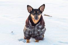 Gullig hund i vinter med kläder royaltyfri fotografi