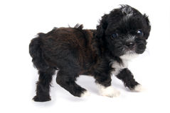 gullig hund isolerad liten valpshihtzu Arkivbild