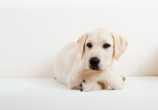 gullig hund labrador Arkivfoto