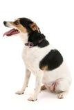 gullig hund little öppen sitting för mun Royaltyfri Bild
