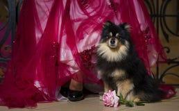 gullig hund little royaltyfri bild