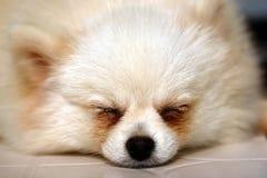 gullig hund little Arkivfoton