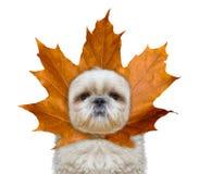 Gullig hund med för blad en hatt i stället på huvudet arkivfoton