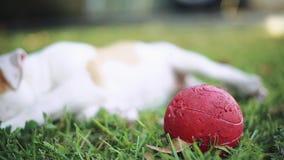 Gullig hund med gröna ögon som lägger ner på gräs och spelar med bollen arkivfilmer