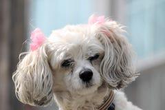 Gullig hund med pilbågar. Arkivfoto