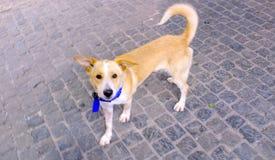 Gullig hund på en gata i Santorini, Grekland arkivbilder