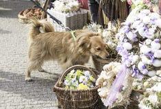 Gullig hund på en påskmarknad som sniffar garneringarna Arkivbild