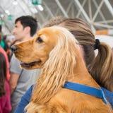 Gullig hund på Quattrozampeinfiera i Milan, Italien Royaltyfria Foton