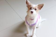 Gullig hund som bär en skjorta Fotografering för Bildbyråer