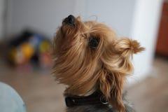 Gullig hund som frågar blick för att vänta på en kurs att inte ströva tillgiven skämtsam goda Royaltyfri Foto