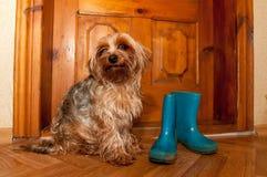 Gullig hund som går utomhus- Royaltyfri Foto