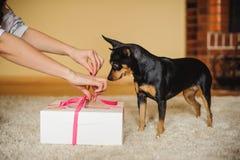 Gullig hund som håller ögonen på den närvarande asken som öppnas Royaltyfri Bild
