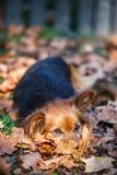 Gullig hund som lägger i höstbladen Arkivfoton