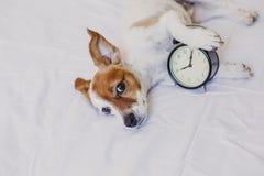 Gullig hund som ligger p? s?ng med en ringklockaupps?ttning p? 8 f.m. morgon och vak upp begrepp hemma Husdjur inomhus, livsstil royaltyfri fotografi