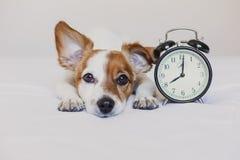 Gullig hund som ligger p? s?ng med en ringklockaupps?ttning p? 8 f.m. morgon och vak upp begrepp hemma Husdjur inomhus, livsstil fotografering för bildbyråer