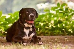 Gullig hund som ner ligger Royaltyfri Bild