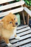 Gullig hund som ser mig royaltyfria bilder