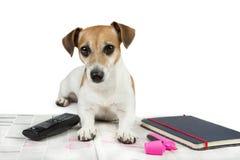 Gullig hund som söker efter jobb Arkivfoton