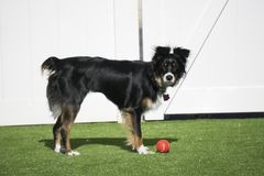 Gullig hund som spelar bollen utanför i trädgården Arkivbilder