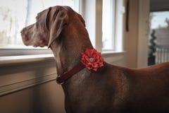 Gullig hund som ut ser fönstret royaltyfria foton