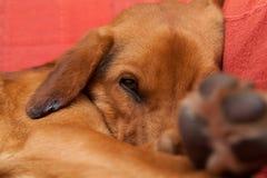 Gullig hund som vilar på soffan Royaltyfri Fotografi