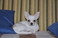 Gullig hundChihuahua Royaltyfria Bilder