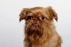 gullig hundgriffon little Royaltyfri Foto