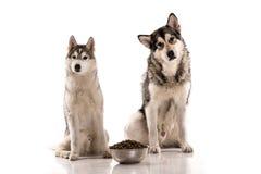 Gullig hundkapplöpning och deras favorit- mat på en vit bakgrund Royaltyfri Bild