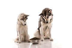 Gullig hundkapplöpning och deras favorit- mat på en vit bakgrund Arkivbild