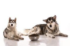 Gullig hundkapplöpning och deras favorit- mat på en vit bakgrund arkivfoton